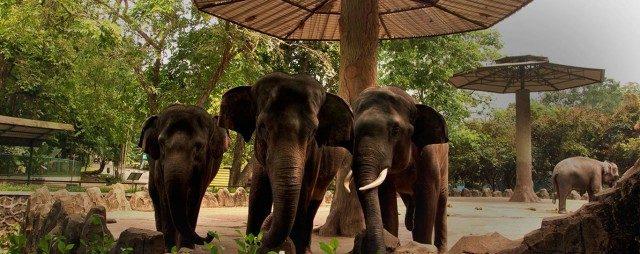 Sekawanan Gajah di Kebun Binatang Ragunan
